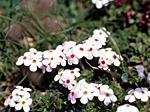 Marktäckande blommor
