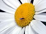 Prästkrage och liten fluga