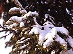 772 gran med snö