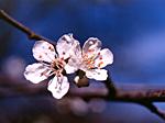829 körsbärsplommon